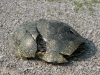blandings_turtle_male_dor_may_25_07_carden