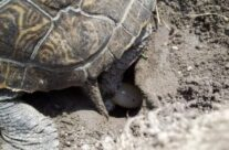 Turtle Hatching Season is Upon Us!