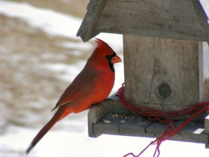Male_Northern_Cardinal_At_Feeder