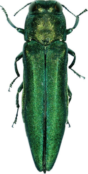 Emerald Ash Borer | Kids For Turtles Environmental Education