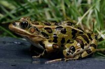 The Northern Leopard Frog
