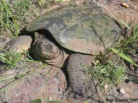Snapping Turtle Laying Eggs by Bob Bowles- web